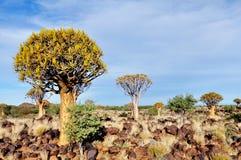 Quiver Boom Bos, Recente Middag, dicht bij Keetmanshoop, Namibië stock foto's
