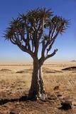 Quiver Boom - Woestijn namib-Naukluft - Namibië royalty-vrije stock foto's