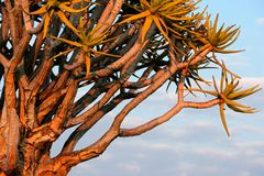 Quiver boomtakken, Namibië stock foto