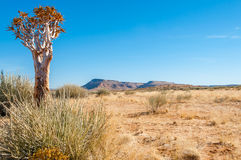 Quiver desert tree Stock Images