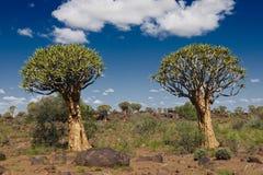 Quiver a floresta da árvore Imagens de Stock Royalty Free