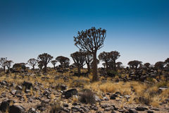 Quiver tree. Kokerboomwoud is a group of Quiver  trees in Namibia Royalty Free Stock Image