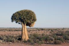Quiver tree Royalty Free Stock Photo