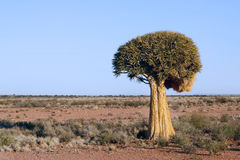 Quiver tree Royalty Free Stock Photography