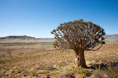 Quiver Tree. Namibian landscape with Quiver Tree Stock Photography