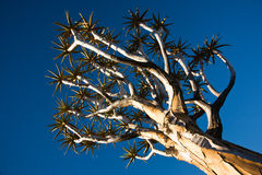 Quiver Tree. (Aloe Dichotoma) against blue sky Stock Image