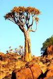 Quiver tree. In the Dolorite Park near Keetmanshoop Namibia Royalty Free Stock Image