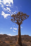 Quiver tree. Set against a backdrop of a typical Northern Cape landscape in South Africa Royalty Free Stock Photo