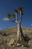 Quiver tree. Photograph of the indigenous Quiver Tree or Kokerboom (Aloe dichotoma). These plants are found in the Richtersveld National Park, which is on the Stock Photo