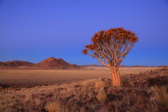 Namibia - Quiver Tree Stock Photo