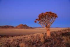 Namibia - Quiver Tree stock photo