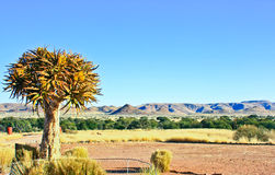 Quiver tree. Is the national tree of Namibia Royalty Free Stock Images
