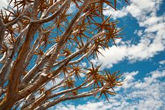 Quiver tree Royalty Free Stock Images
