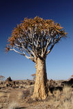 Quiver Tree. In the desert in Namibia royalty free stock photo