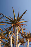 Quiver Tree. Branches of a Quiver Tree in Namibia Royalty Free Stock Images