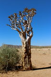 Quiver tree. Africa poison desert Stock Images