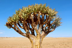 Quiver tree. Africa poison desert Royalty Free Stock Images