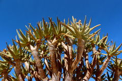 Quiver tree. Africa poison desert Stock Photography