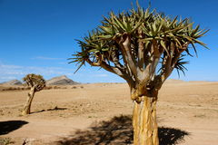 Quiver tree. Africa poison desert Royalty Free Stock Photos