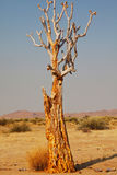 Quiver tree. In african desert. Namibia, Africa Royalty Free Stock Images