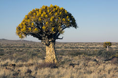 A quiver tree Aloe dichotoma. In the vast expanse of the Northern Cape Province of South Africa Royalty Free Stock Images