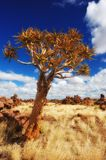 Quiver Tree (Aloe dichotoma) Stock Photo
