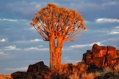 Quiver Tree ( Aloe dichotoma) Royalty Free Stock Photo