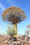 Quiver tree Kokerboom Aloe dichotoma blue sky, Namibia. Quiver tree, also called Aloe dichotoma or Kokerboom  on the rocks in a blue sunny sky, Keetmanshoop Royalty Free Stock Images
