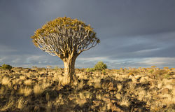 Quiver tree. Or Aloe dichotoma in bright evening sunlight, Namibia, Southern Africa royalty free stock images