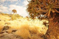 Quiver Tree - Aloe dichotoma Stock Image