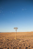 Quiver tree (Aloe dichotoma) in the Desert near Fish River Canyon, Namibia Stock Photo