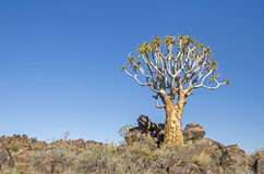 Quiver tree Royalty Free Stock Photos