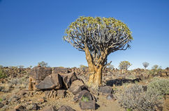 Quiver tree Stock Images
