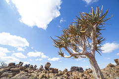 The quiver tree, or aloe dichotoma, in the Giant's Playground,. A bizarre natural rock garden near Keetmashoop, Namibia Stock Image