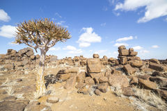 The quiver tree, or aloe dichotoma, in the Giant's Playground,. A bizarre natural rock garden near Keetmashoop, Namibia Royalty Free Stock Image