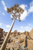 The quiver tree, or aloe dichotoma, in the Giant's Playground,. A bizarre natural rock garden near Keetmashoop, Namibia Royalty Free Stock Images