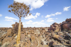 The quiver tree, or aloe dichotoma, in the Giant's Playground,. A bizarre natural rock garden near Keetmashoop, Namibia Royalty Free Stock Photo