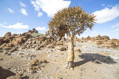 The quiver tree, or aloe dichotoma, in the Giant's Playground, Royalty Free Stock Images