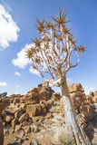 The quiver tree, or aloe dichotoma, in the Giant's Playground, Royalty Free Stock Photo