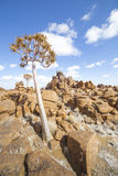 The quiver tree, or aloe dichotoma, in the Giant's Playground, Stock Images