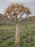 A Quiver Tree or Aloe dichotoma. Growing in the Northern Cape region of South Africa Stock Image