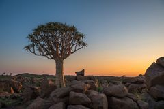 The quiver tree, or aloe dichotoma, Keetmanshoop, Namibia.  Stock Images