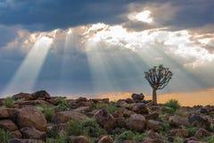 The quiver tree, or aloe dichotoma, Keetmanshoop, Namibia Stock Image