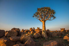 The quiver tree, or aloe dichotoma, Keetmanshoop, Namibia.  Royalty Free Stock Images