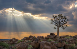 The quiver tree, or aloe dichotoma, Keetmanshoop, Namibia. Africa Royalty Free Stock Photos