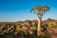 The quiver tree, or aloe dichotoma, Keetmanshoop, Namibia. Africa Royalty Free Stock Images