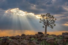 The quiver tree, or aloe dichotoma, Keetmanshoop, Namibia Stock Photo