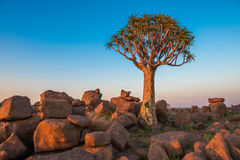 The quiver tree, or aloe dichotoma, Keetmanshoop, Namibia. Image of the quiver tree, or aloe dichotoma, Keetmanshoop, Namibia Royalty Free Stock Photos