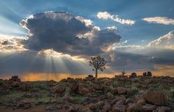 The quiver tree, or aloe dichotoma, Keetmanshoop, Namibia.  Royalty Free Stock Photos