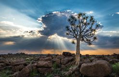 The quiver tree, or aloe dichotoma, Keetmanshoop, Namibia.  Royalty Free Stock Image
